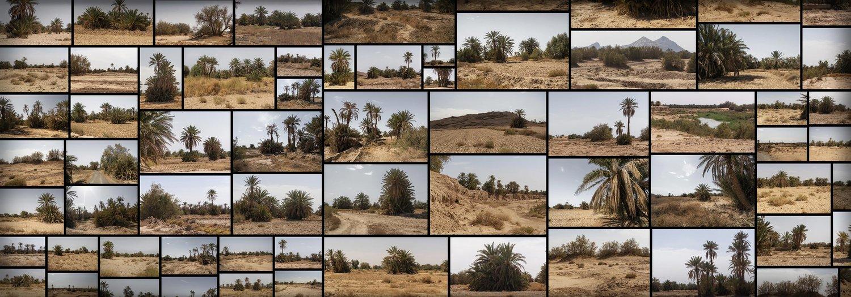 沙漠棕榈树 Desert Palm Grove
